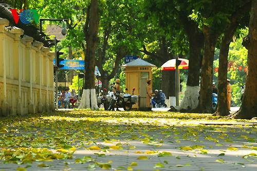 河内人面果树的夏季黄叶 - ảnh 4