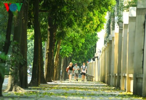 河内人面果树的夏季黄叶 - ảnh 6