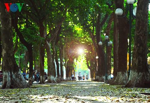 河内人面果树的夏季黄叶 - ảnh 5