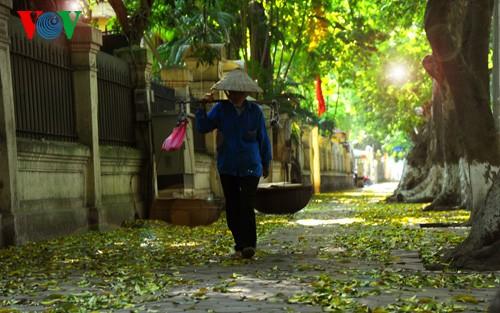 河内人面果树的夏季黄叶 - ảnh 8