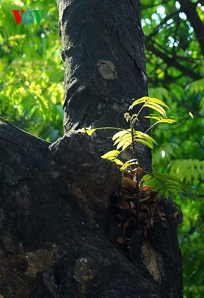 河内人面果树的夏季黄叶 - ảnh 13