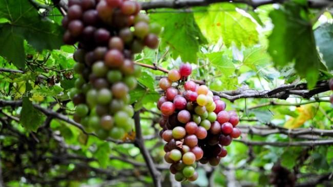 Bauern in Ninh Thuan entwickeln den Weinanbau - ảnh 1