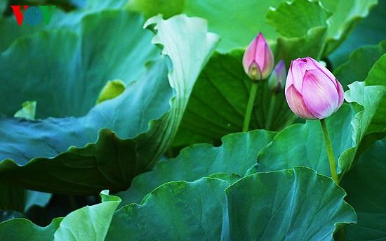 Lotus im Westsee am frühen Morgen - ảnh 9
