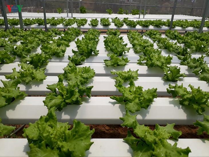 Start up mit Gemüseanbau mit Hochtechnologie in Quang Nam - ảnh 2