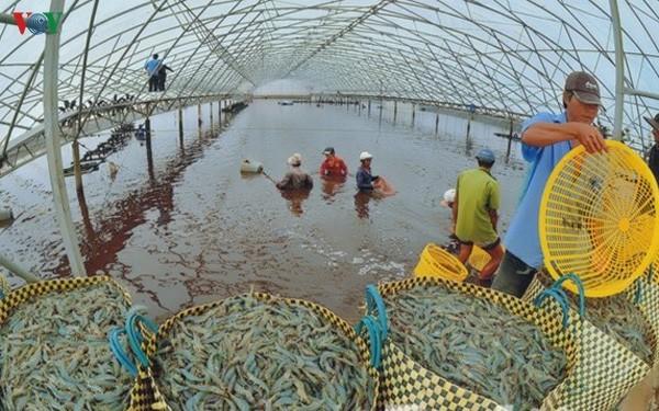 Mekong-Delta fördert Garnelen-Export - ảnh 2