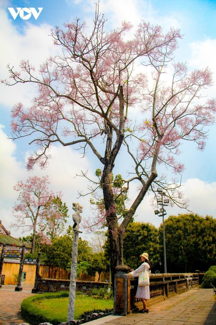 Wutong-Bäume blühen in der Hue-Zitadelle - ảnh 11