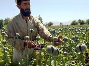 Afghanistan berencana menhapuskan 15.000 ha pohon candu - ảnh 1