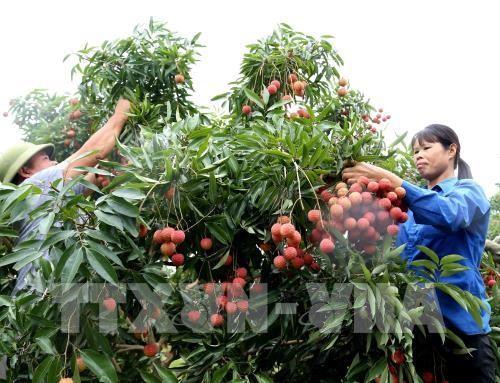 Petani Provinsi Bac Giang mendapat panenan berlimpah-limpah pada musim buah leci tahun 2019 - ảnh 1