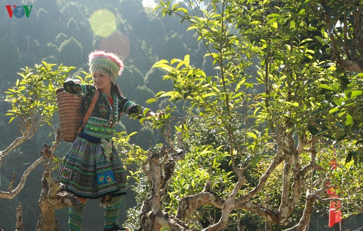 Teh Shan Tuyet Suoi Giang – Aroma dari daerah hutan pegunungan Tay Bac - ảnh 1