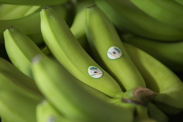 Perkebunan pisang terbesar di Asia Tenggara di negeri pagoda - ảnh 1