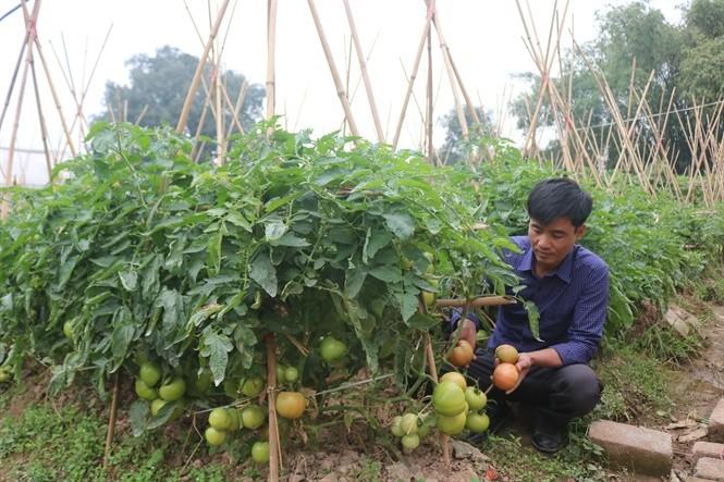 Provinsi Hung Yen Fokus pada Restrukturisasi Produksi Pertanian - ảnh 2