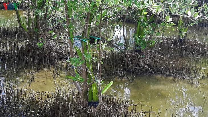 В провинции Камау появилась модель выращивания питахайи на корнях авиценнии - ảnh 2