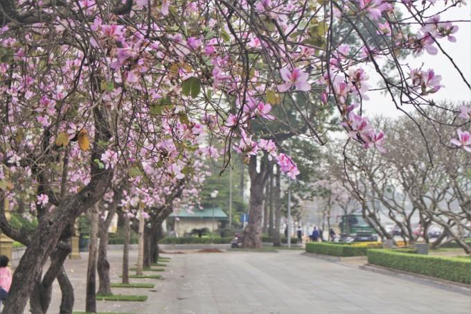 一组有关河内及西北省份3月花季的歌曲 - ảnh 1
