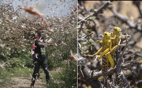 索马里宣布全国进入紧急状态 因沙漠蝗虫激增构成重大威胁 - ảnh 1
