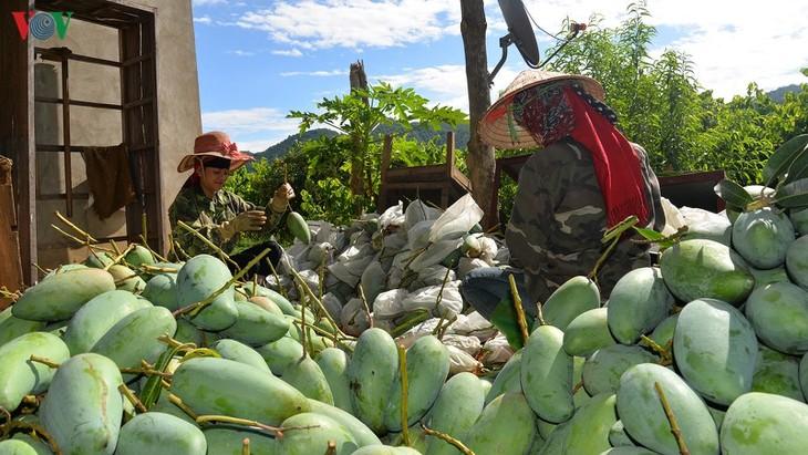 Манго из вьетнамской провинции Шонла экспортируется во многие страны мира - ảnh 1