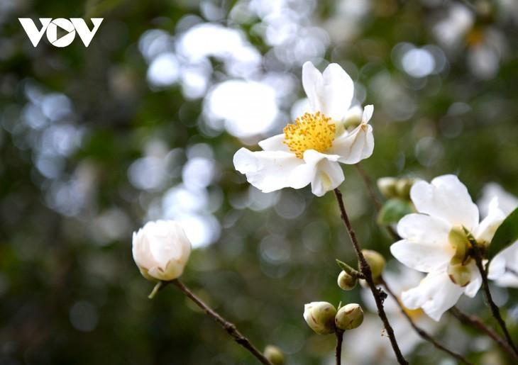 Уезд Биньлиеу в сезон цветения белой камелии масличной - ảnh 2