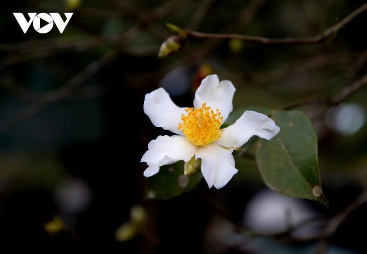 Уезд Биньлиеу в сезон цветения белой камелии масличной - ảnh 3