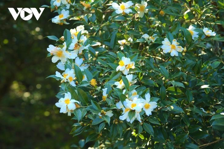Уезд Биньлиеу в сезон цветения белой камелии масличной - ảnh 4