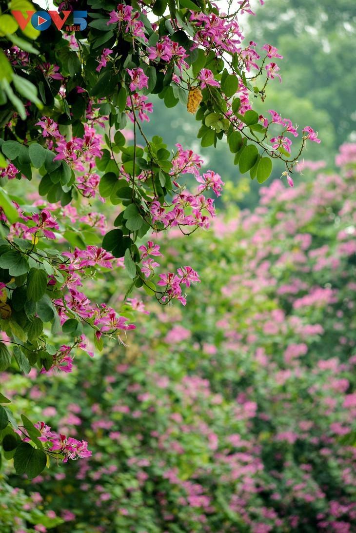 Ранее цветение баухинии в Ханое - ảnh 14