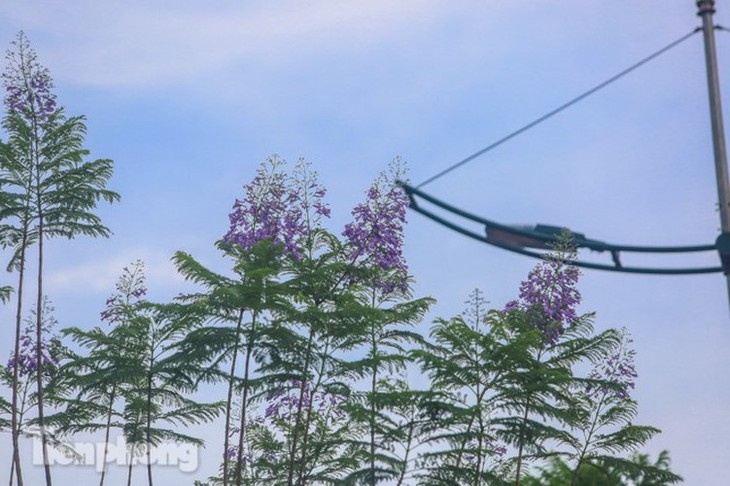 Hanoi capital dotted with Da Lat purple flamboyant flowers - ảnh 1