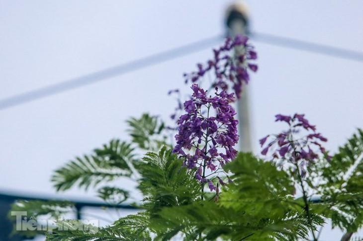 Hanoi capital dotted with Da Lat purple flamboyant flowers - ảnh 2