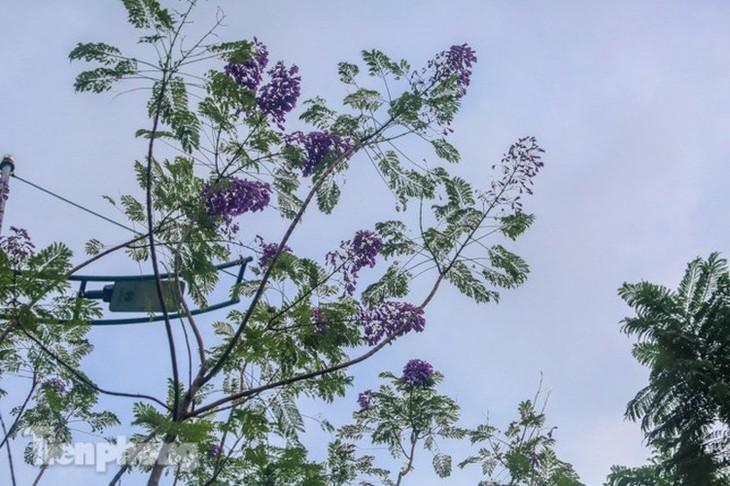 Hanoi capital dotted with Da Lat purple flamboyant flowers - ảnh 3