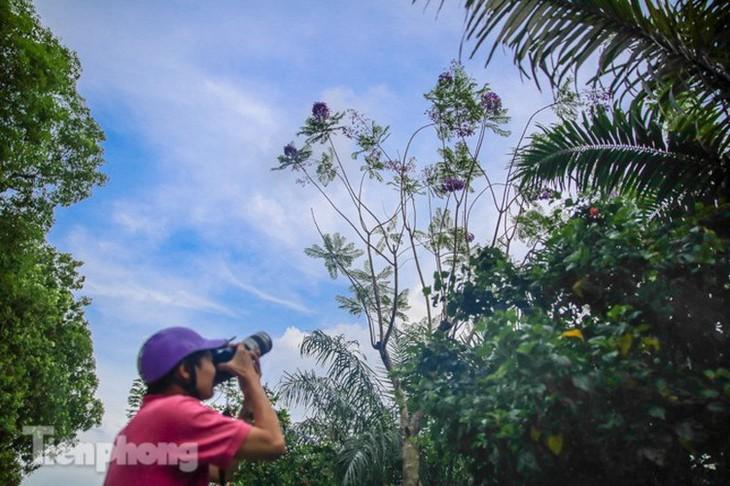 Hanoi capital dotted with Da Lat purple flamboyant flowers - ảnh 6