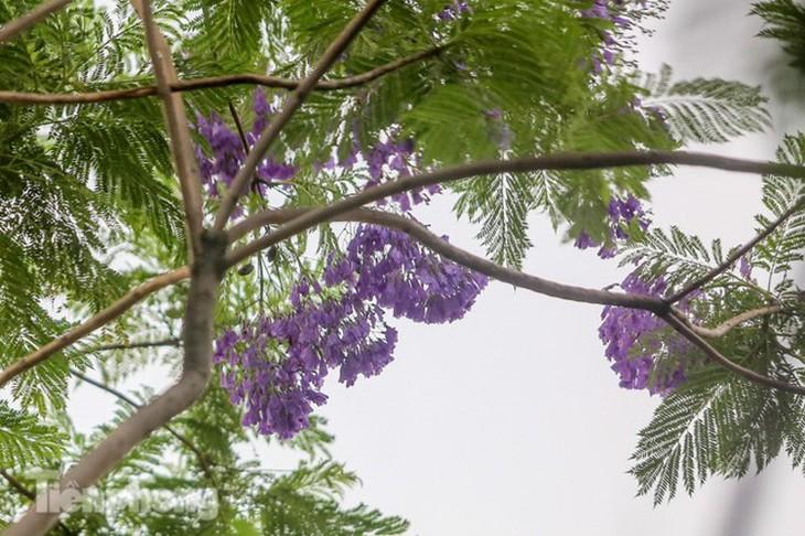Hanoi capital dotted with Da Lat purple flamboyant flowers - ảnh 7