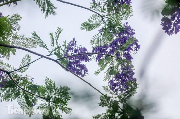Hanoi capital dotted with Da Lat purple flamboyant flowers - ảnh 8