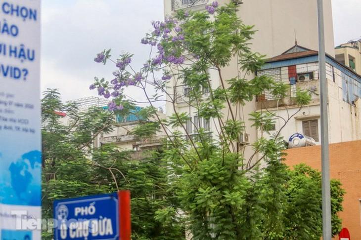 Hanoi capital dotted with Da Lat purple flamboyant flowers - ảnh 9
