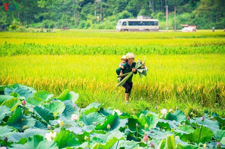 Bac Son rice fields turn yellow amid harvest season - ảnh 17