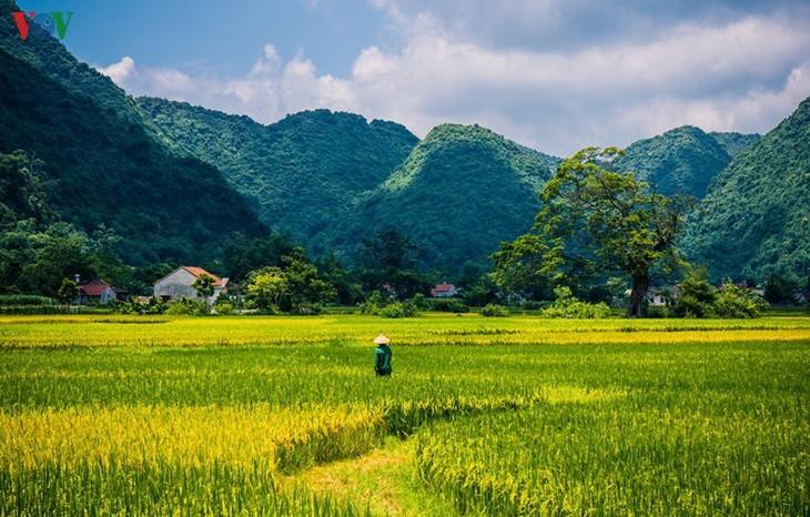 Bac Son rice fields turn yellow amid harvest season - ảnh 18