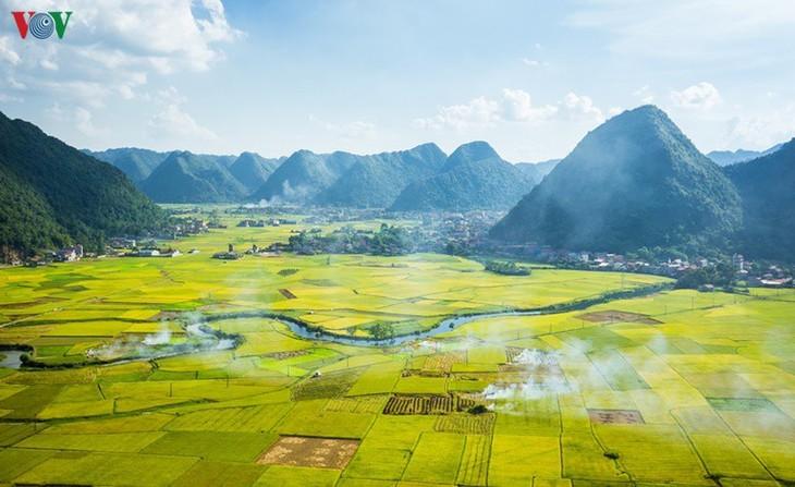 Bac Son rice fields turn yellow amid harvest season - ảnh 1