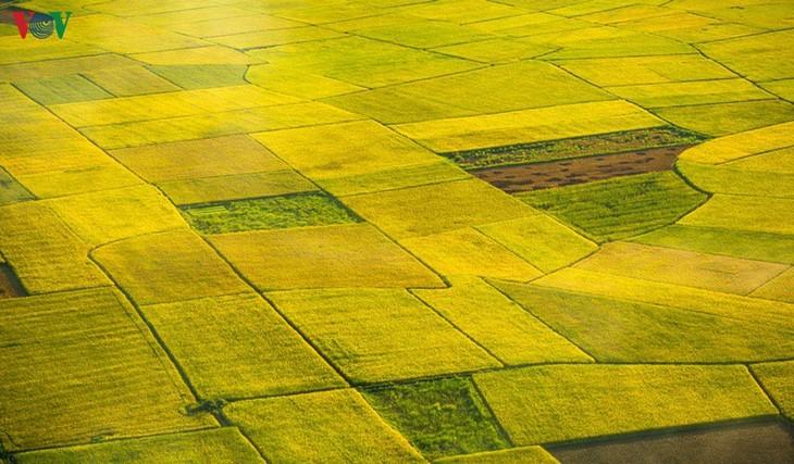 Bac Son rice fields turn yellow amid harvest season - ảnh 4
