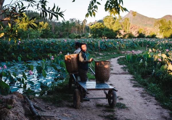 Lotus harvest season in Quang Nam - ảnh 2