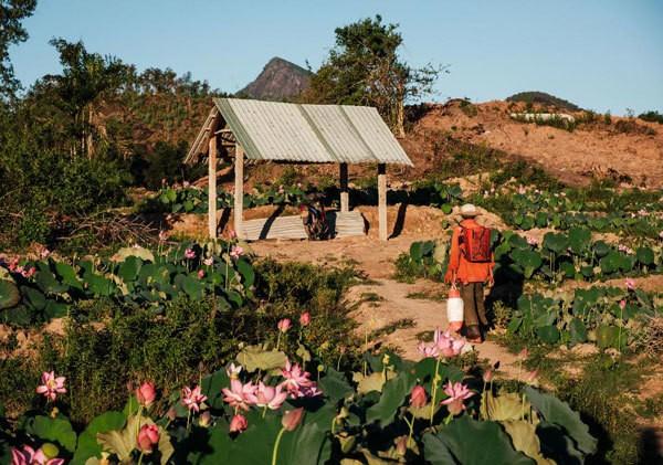 Lotus harvest season in Quang Nam - ảnh 3