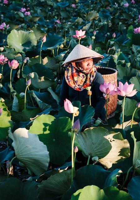 Lotus harvest season in Quang Nam - ảnh 5