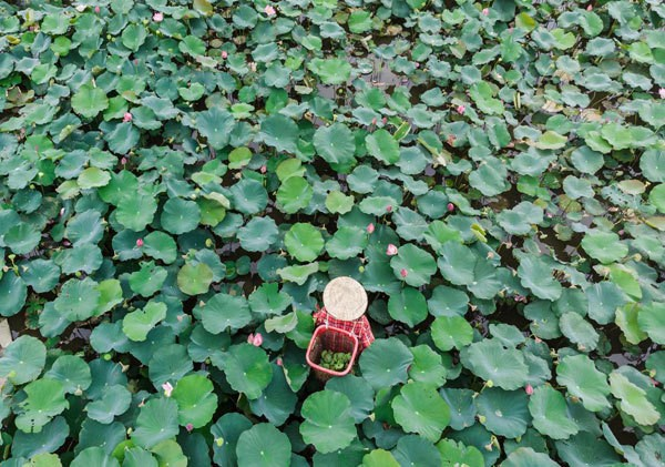 Lotus harvest season in Quang Nam - ảnh 7