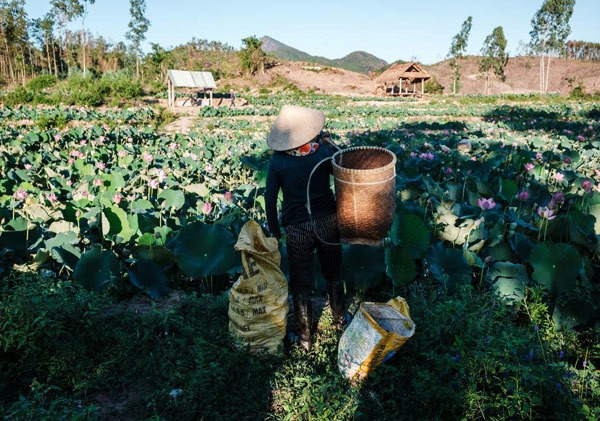 Lotus harvest season in Quang Nam - ảnh 8
