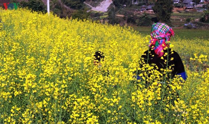 Ảnh: Mùa vàng hoa cải trên danh thắng ruộng bậc thang Mù Cang Chải - ảnh 8