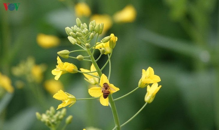 Ảnh: Mùa vàng hoa cải trên danh thắng ruộng bậc thang Mù Cang Chải - ảnh 9