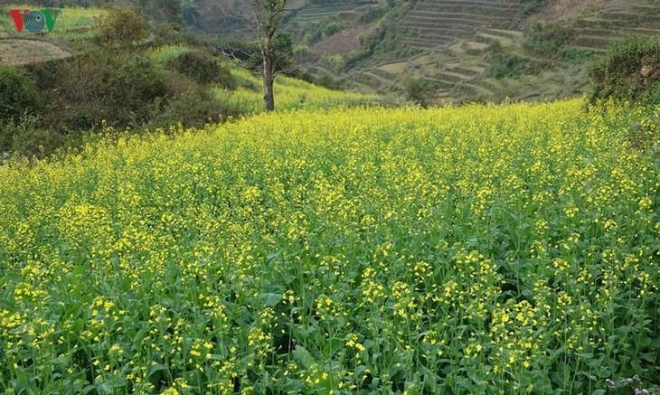 Ảnh: Mùa vàng hoa cải trên danh thắng ruộng bậc thang Mù Cang Chải - ảnh 1