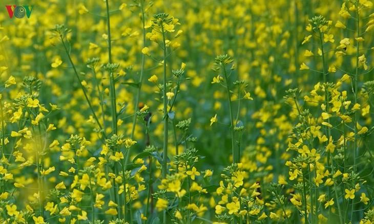 Ảnh: Mùa vàng hoa cải trên danh thắng ruộng bậc thang Mù Cang Chải - ảnh 2