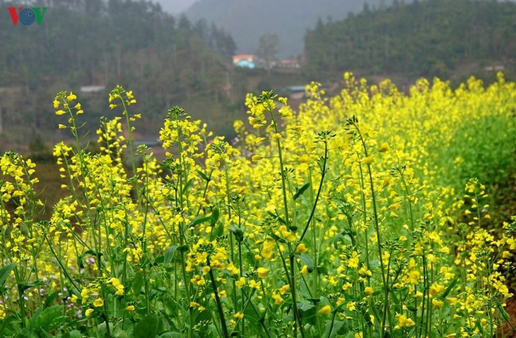 Ảnh: Mùa vàng hoa cải trên danh thắng ruộng bậc thang Mù Cang Chải - ảnh 3