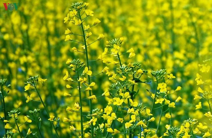 Ảnh: Mùa vàng hoa cải trên danh thắng ruộng bậc thang Mù Cang Chải - ảnh 4