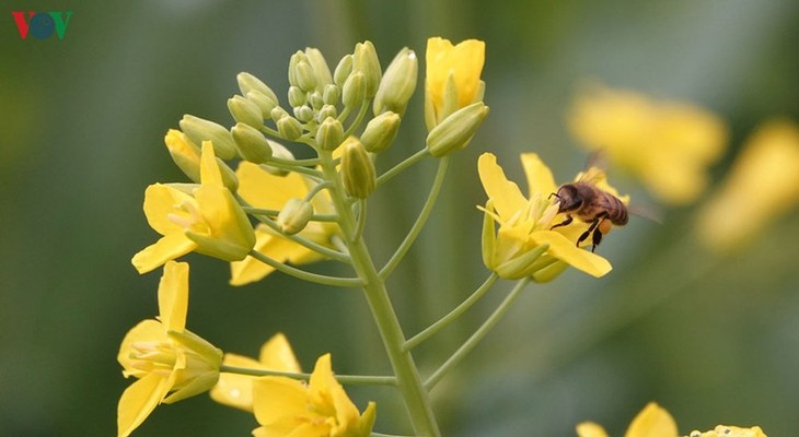 Ảnh: Mùa vàng hoa cải trên danh thắng ruộng bậc thang Mù Cang Chải - ảnh 5