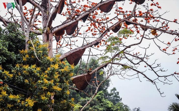 Đẹp ngỡ ngàng cây gạo hoa rực đỏ với hàng chục đàn ong tìm về làm tổ - ảnh 2