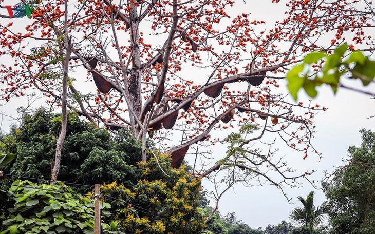 Đẹp ngỡ ngàng cây gạo hoa rực đỏ với hàng chục đàn ong tìm về làm tổ - ảnh 6