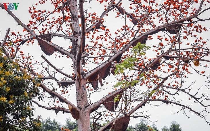 Đẹp ngỡ ngàng cây gạo hoa rực đỏ với hàng chục đàn ong tìm về làm tổ - ảnh 7