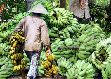 Impacto en Vietnam propiedades curativas del plátano y el mango - ảnh 2